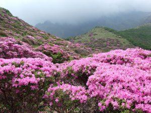 Rhododendron verzorgen