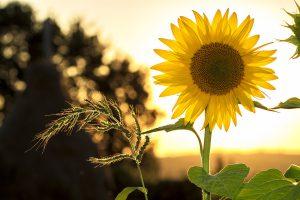 zonnebloemen verzorgen